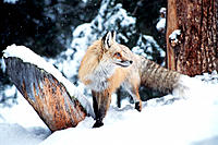 Mountain Red Fox