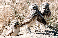 Burrowing Owls (Speotyto cunicularia) at burrow