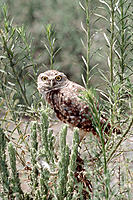 Burrowing Owl (Speotyto cunicularia) peering from perch