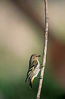 Pine Siskin (Carduelis pinus). Gila National Forest. New Mexico. USA