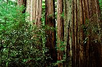 Redwoods (Sequoia sempervirens). Big Basin State Park. California. USA