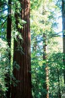 Redwoods. Big Basin State Park. California. USA