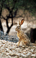 Black-tailed Jackrabbit (Lepus californicus). Arizona. USA