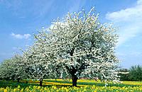 Cherry trees in rape field. Germany