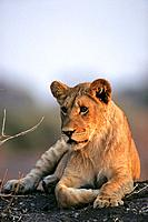 Young lion (Panthera leo). Etosha National Park. Namibia