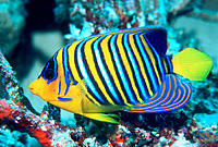 Regal Angelfish (Pygoplites diacanthus). Red Sea. Egypt
