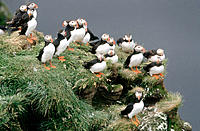 Atlantic Puffins (Fratercula arctica). Iceland