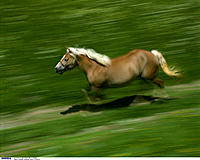Haflinger, Gallop, Meadow