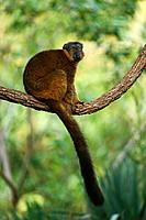 Collared Brown Lemur (Eulemur fulvus collaris)