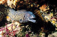Moray (Muraena helena)