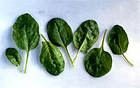 Spinach leaves, Still life