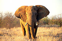 African Elephant (Loxodonta africana). Etosha National Park. Namibia