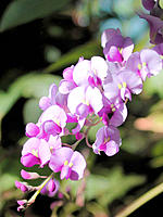 Purple Coral Pea (Hardenbergia violacea)