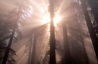 Light rays into Sequoias forest. Redwood National Park. California. USA