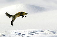 Red Fox (Vulpes fulva) leaping for vole