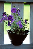 Purple flowers, in black flowerpot of unusual shape, on sunlit sill