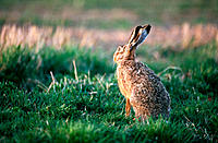 Brown Hare (Lepus europaeus). Sweden