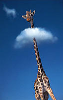 Giraffe with head in clouds