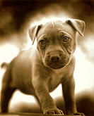 Close-up, Puppy, Sepia