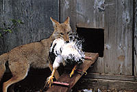 Fox Raiding the Hen House