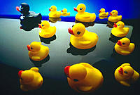 A group of yellow rubber duckies, one black one
