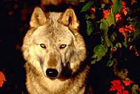 Gray wolf and maple leaves