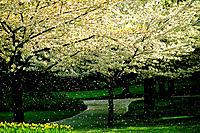 Flowering Trees ,