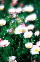Gänseblümchen Blume