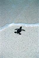 Meereschildkröte Meeresufer