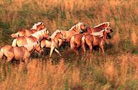 Pferd Tiroler Haflinger Herde