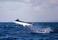 Hawaii, Maui, Side view of Blue marlin jumping at sunset, pink sky C1383