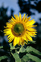 Closeup of a single yellow sunflower on plant, green leaves