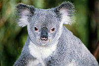 Australia portrait of koala (Phascolarctos cinereus) sit green blurry background Queensland