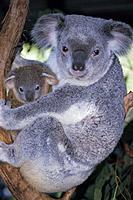 Australia closeup of koala & baby (Phascolarctos cinereus) sit in tree Queensland