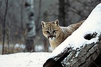 Cougar (Felis concolor). Minnesota. USA
