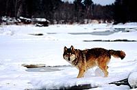 Wolf (Canis lupus). Minnesota. USA