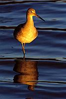 Willet (Catoptrophorus semipalmatus). California. USA