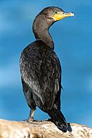 Double-crested Cormorant (Phalacrocorax auritus). California. USA