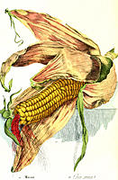 Maize seeds. Historical artwork of an ear of maize (Zea mays) surrounded by modified leaves called husks. The yellow seeds of the maize ear (or pistil...