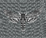 Moth (order Lepidoptera) against an abstract symmetrical background. The wings of moths are covered in microscopic, overlapping scales. Most moths are...