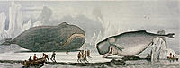 Beached whales. Coloured historical artwork of people studying a bowhead whale (left, Balaena mysticetus) and a sperm whale (Physeter macrocephalus) b...