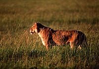 Lioness watching prey. Female lion (Panthera leo) watching a prey animal (not seen). A lion pride´s hunting is performed by the females, the male forc...