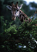 Giraffe (Giraffa camelopardalis) feeding on a clump of trees. The giraffe is the tallest living land animal, some specimens reaching over 6 metres in ...