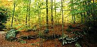 Beech forest. Santa Fé del Montseny.