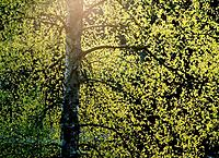 Birch (Betula pendula) in direct light. Omne. Ångermanland. Sweden