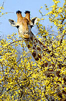 Giraffe (Giraffa camelopardalis), browsing on mopane pomegranate flowers. Kruger National Park. South Africa