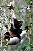 Indri (Indri indri), largest living lemur. Madagascar