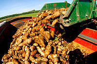 Sugarbeets harvest, loading tubers into hopper