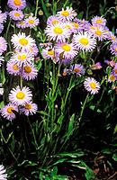 Wandering Daisy (Erigeron peregrinus)