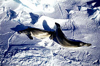 Pair of Seals on an ice plate. Weddell Sea. Antarctica